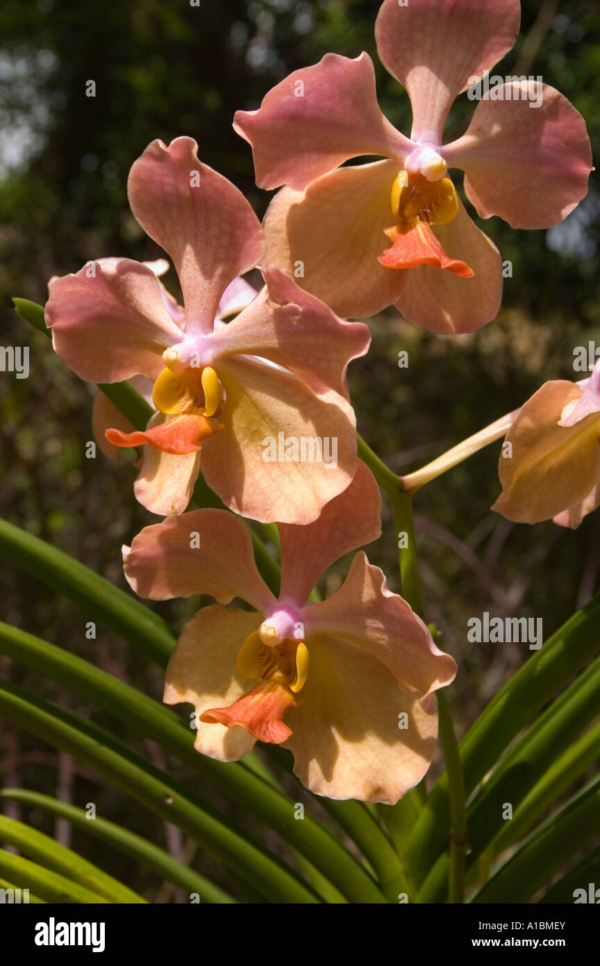 A Variety Of Rare Color Available Sia Bulbs Indoor Potted Flowers Orchids Purple Rhizome