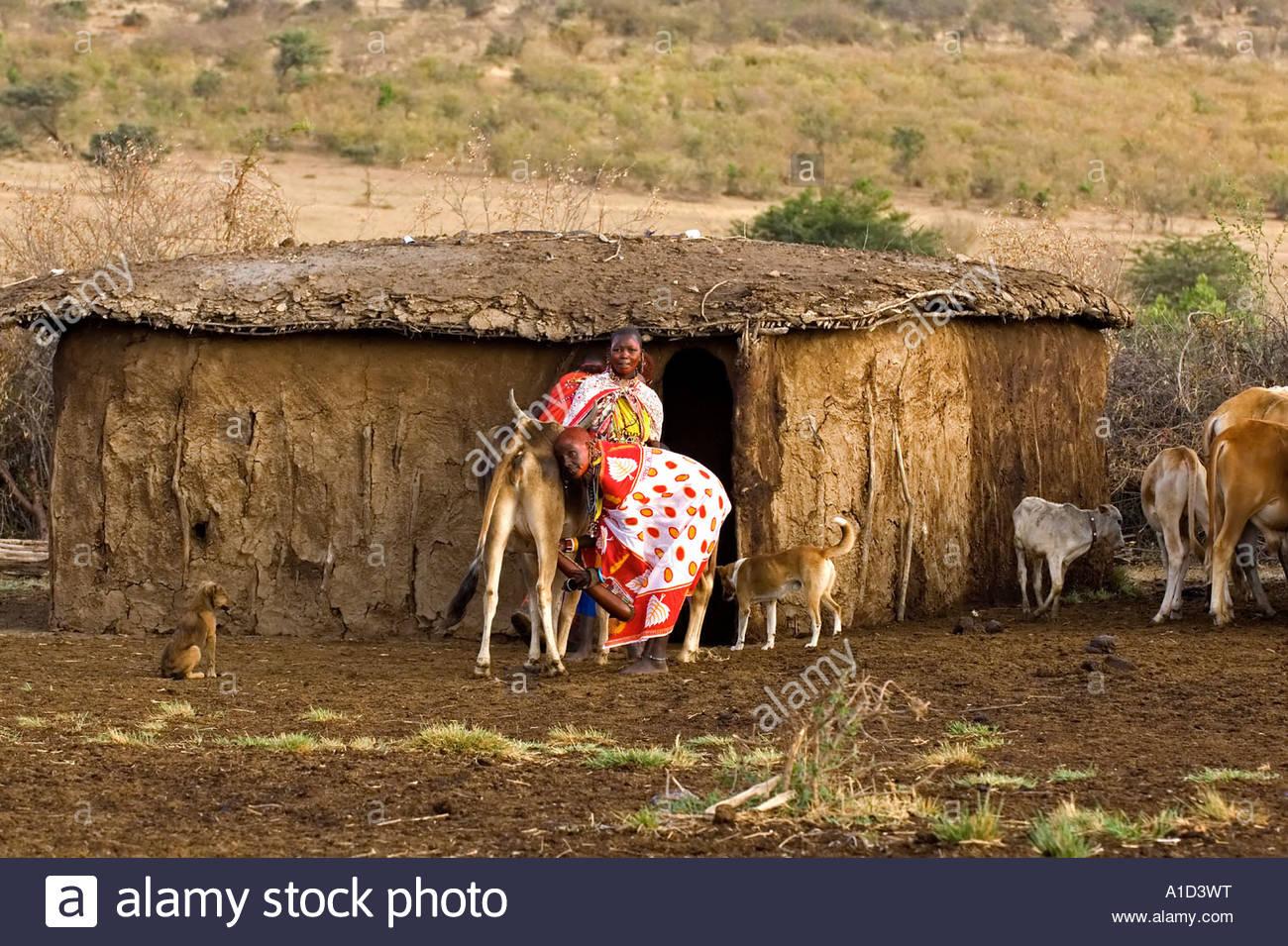 Masai Women In Traditional Dress Milking A Cow Masai Mara