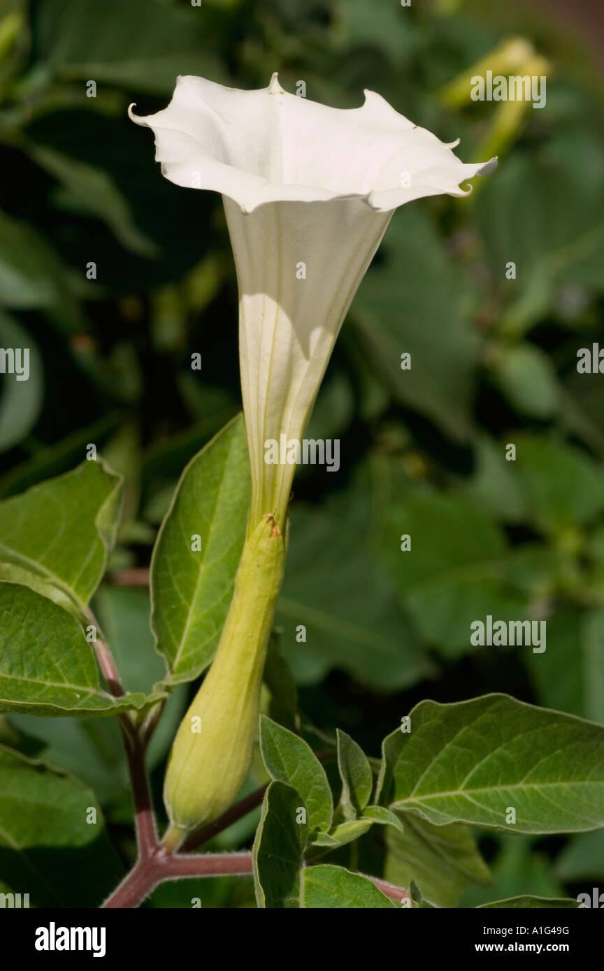 White flower close up of angel s trumpet solanaceae datura innoxia white flower close up of angel s trumpet solanaceae datura innoxia europe america mightylinksfo