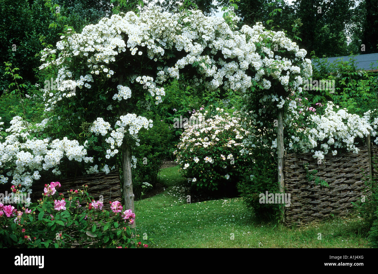 rosa 39 rambling rector 39 mannington hall wattle fence white flowers stock photo royalty free. Black Bedroom Furniture Sets. Home Design Ideas