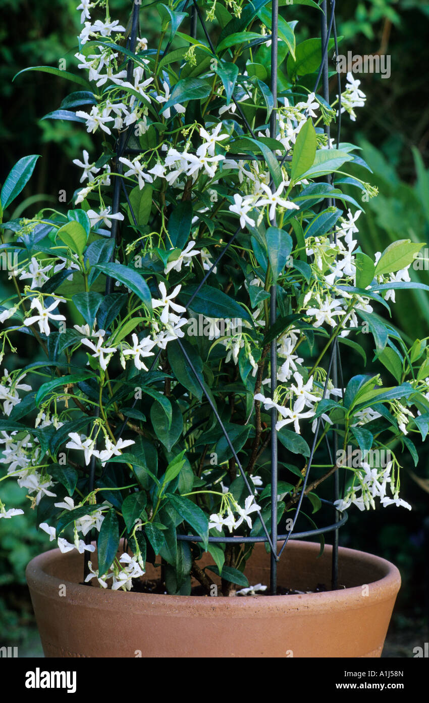 trachelospermum jasminoides in container star jasmine fragrant stock photo royalty free image. Black Bedroom Furniture Sets. Home Design Ideas