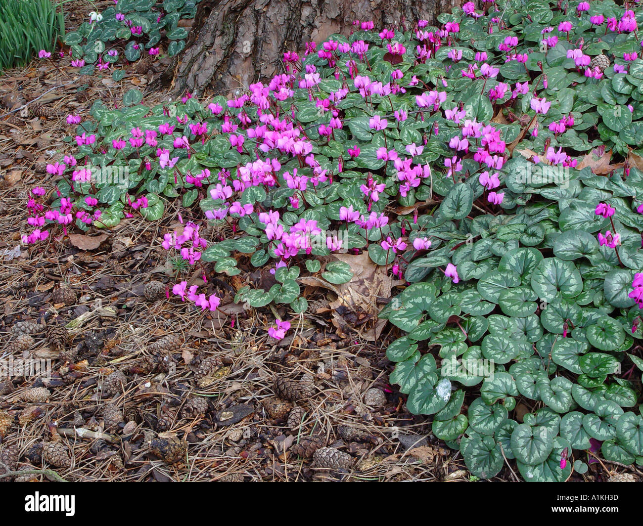 Cyclamen Coum Hybrid Clump Winter Flowering Bulbous Corm Perennial With Good  Ground Cover Foliage