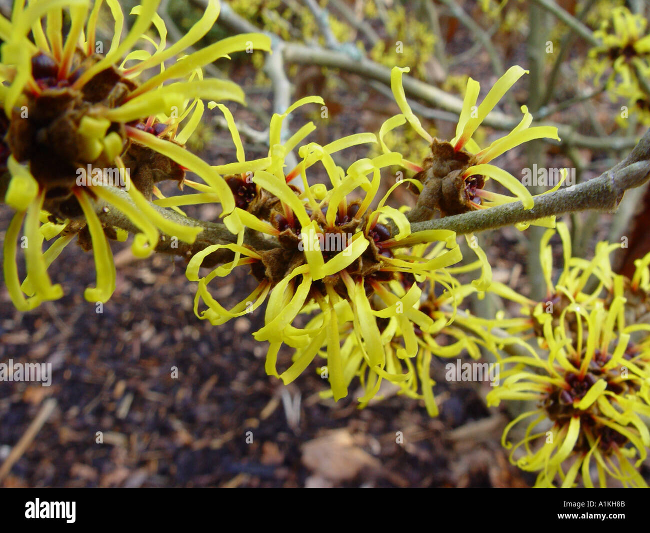 hamamelis x intermedia jermyns gold winter flowering garden shrub