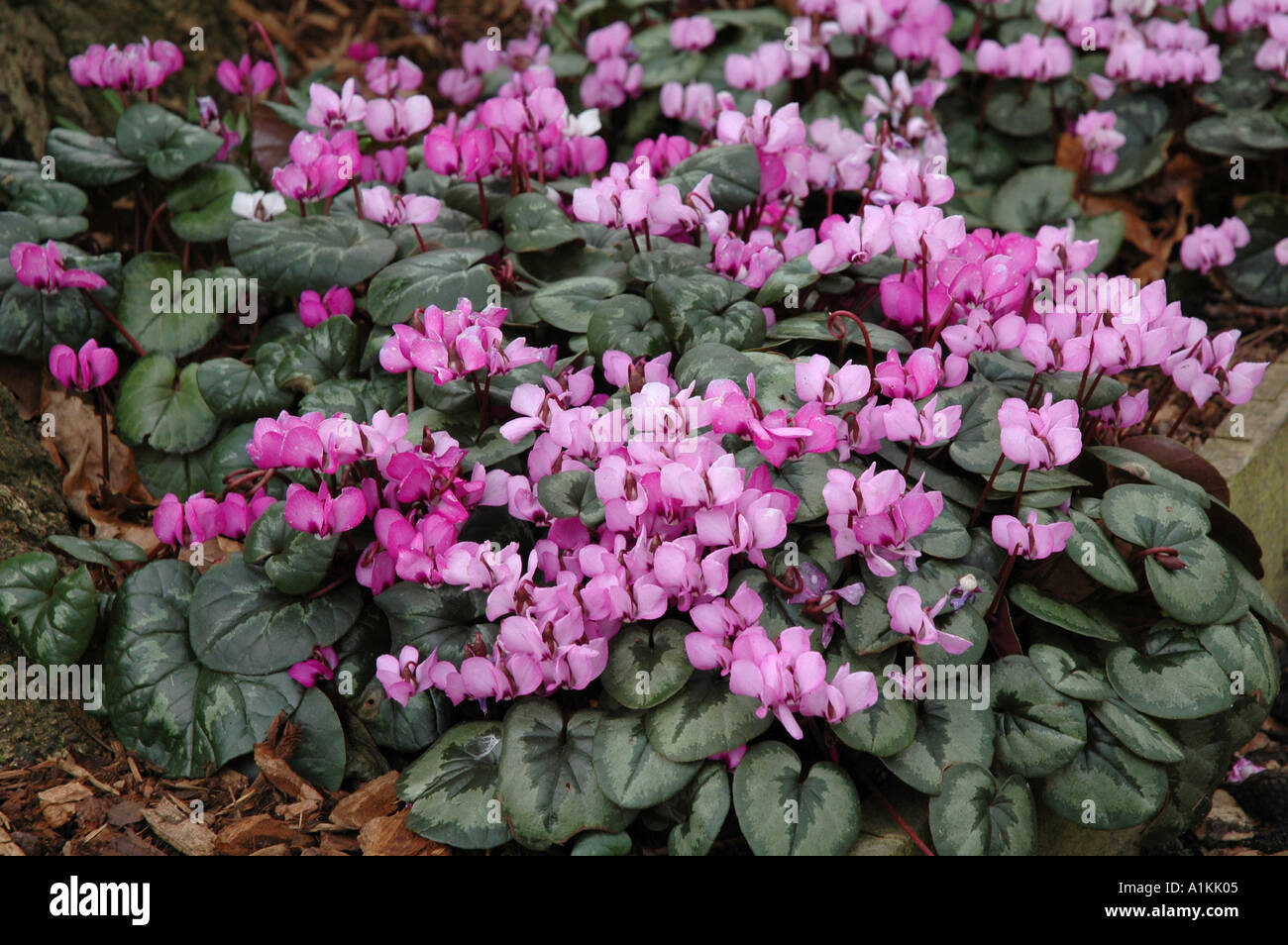 Cyclamenus Coum Winter Flowering Cormous Bulbous Perennial With Good Ground  Cover Foliage For Shaded Areas