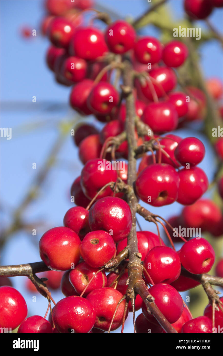 crab apple malus red sentinel ornamental fruit tree ripe fruit stock photo royalty free image. Black Bedroom Furniture Sets. Home Design Ideas