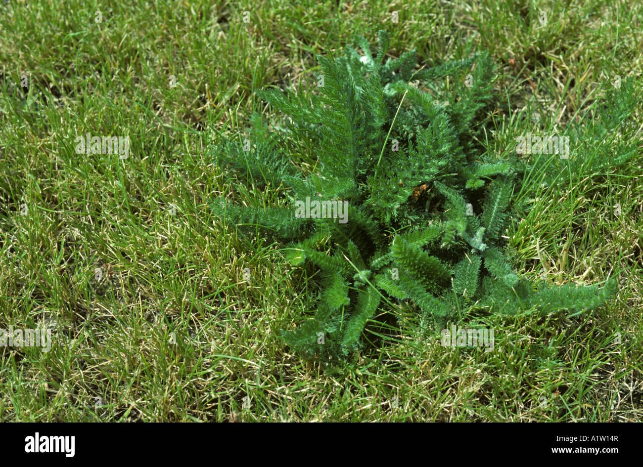 Yarrow Achillea millefolium plant in dry lawn grass Stock Photo ...