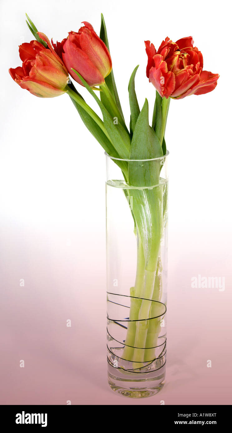 Red parrot tulips in glass vase stock photo 10336127 alamy red parrot tulips in glass vase reviewsmspy