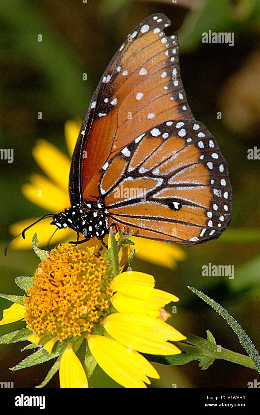 Queen Danaus Gilippus Butterfly Feeding On A Flower Bloom
