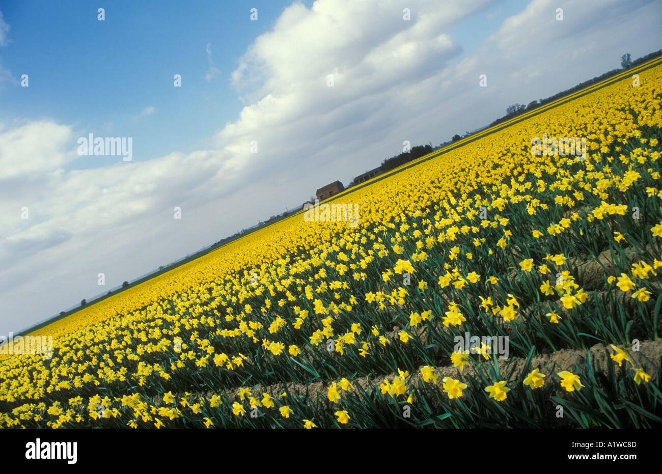 fields of spring daffodils spalding lincolnshire england uk gb eu