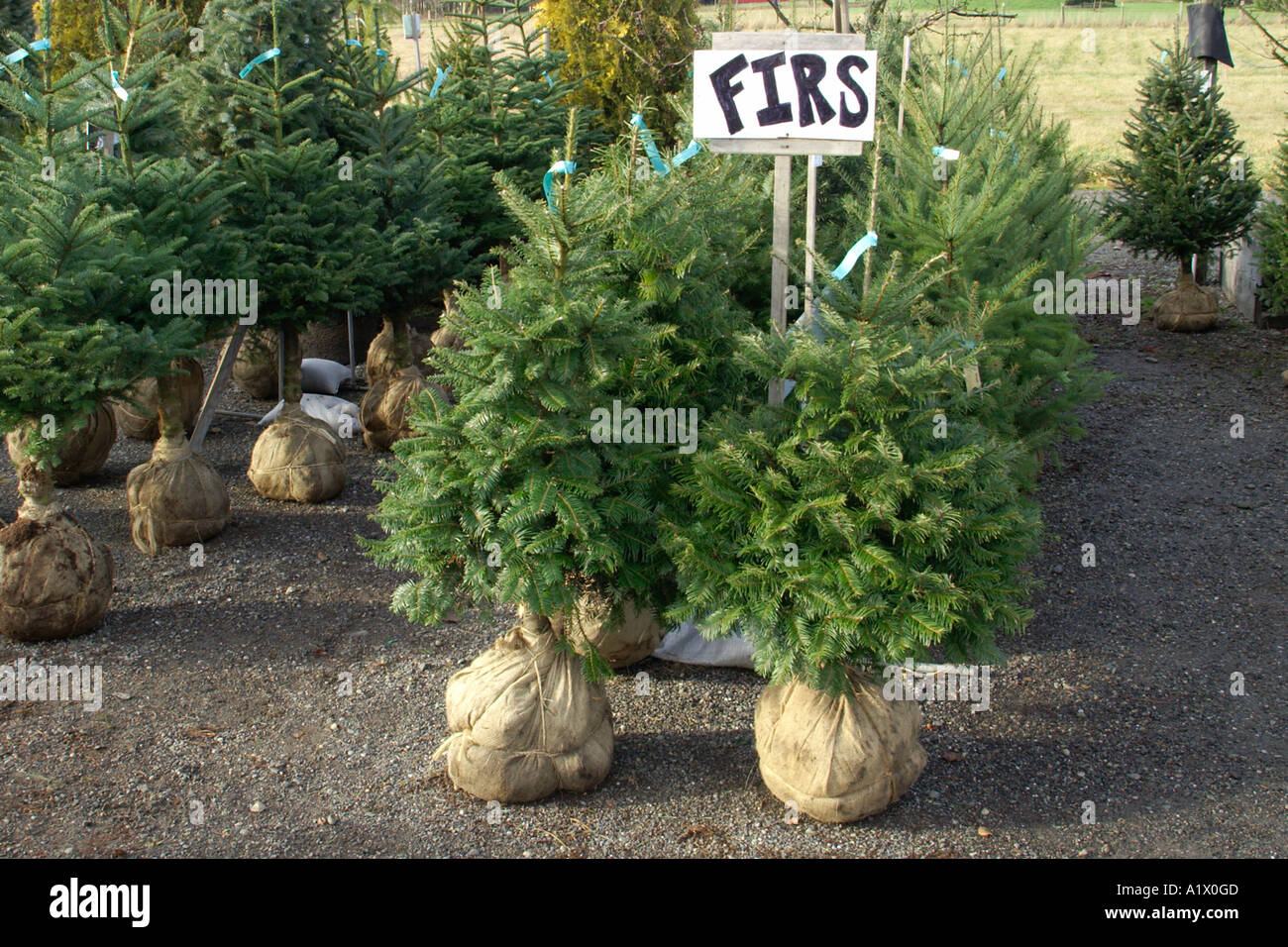 Small pine trees for sale stock photo royalty free image for Plants for sale