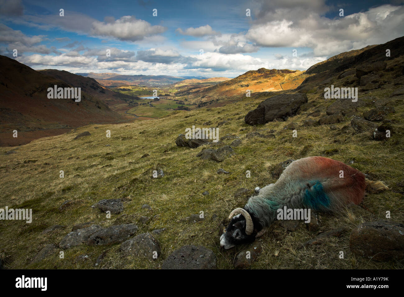 Exceptionnel Dead sheep on the Hardknott Pass, Lake District, England Stock  FP65
