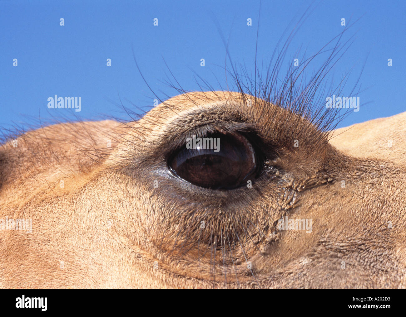 Closeup of Arabian Camel Eye Camelus dromedarius Bahrain ...