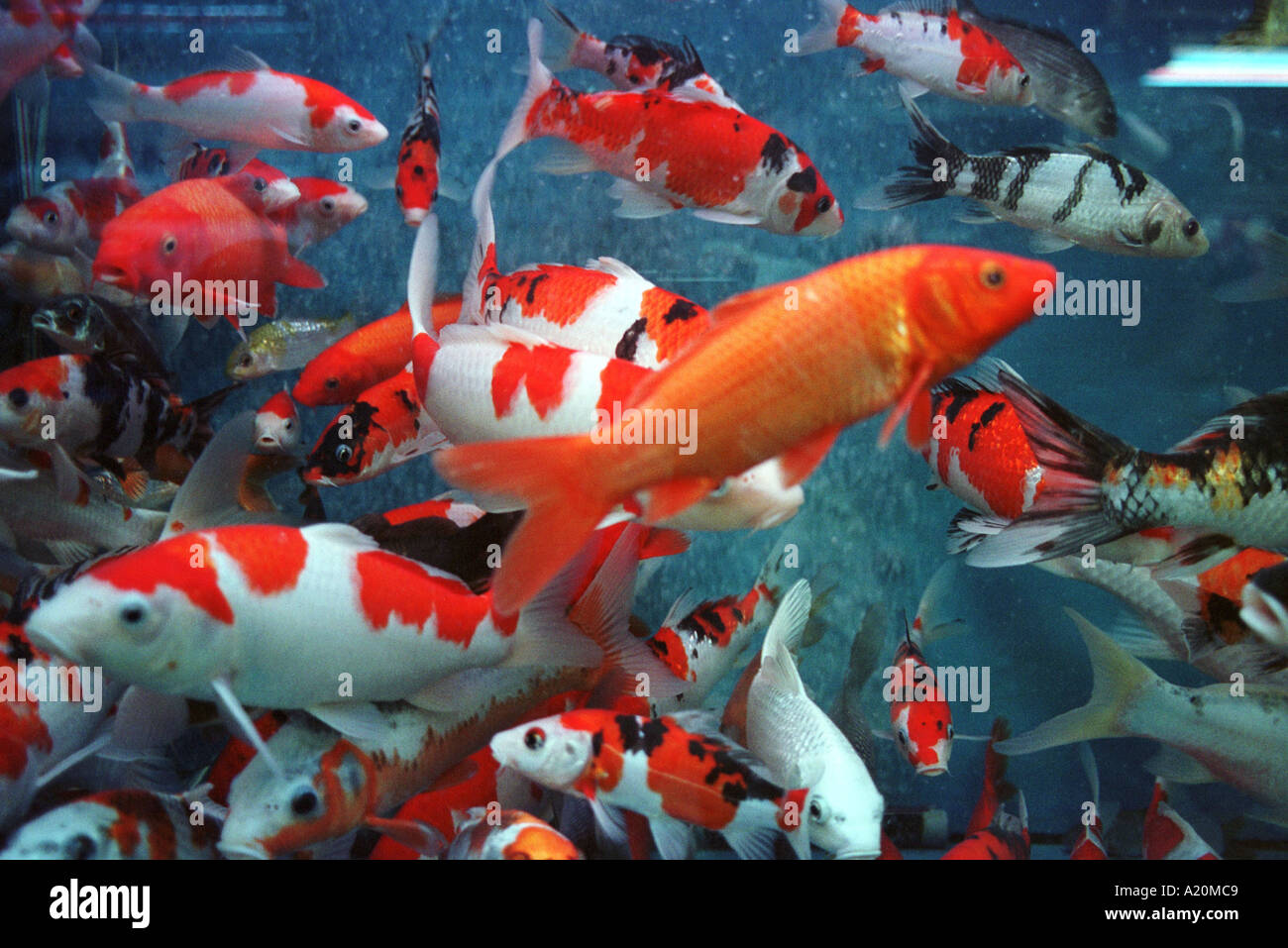 koi carp fish in aquarium