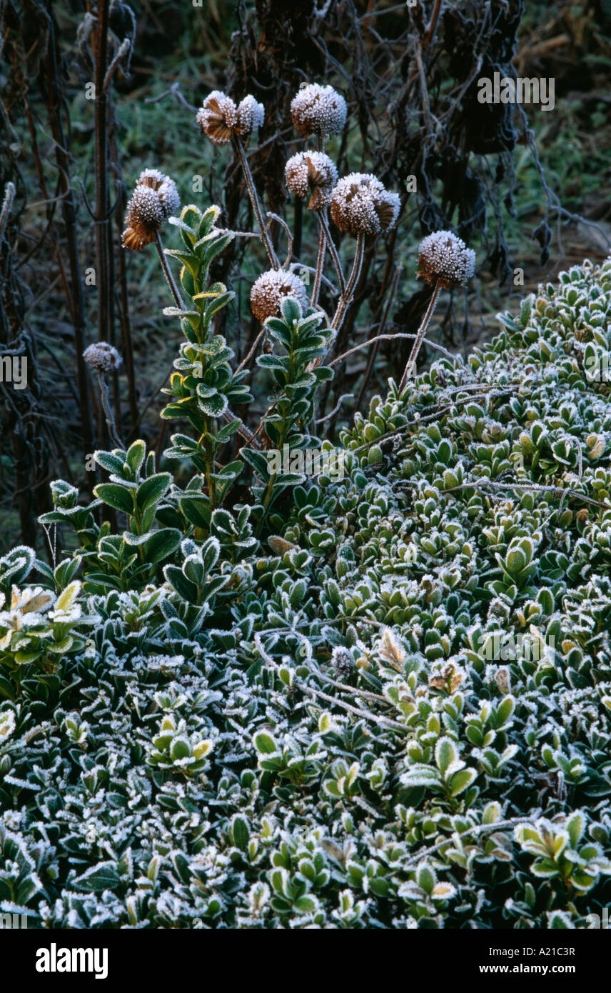 close up of frosted hebe and roses in winter garden border stock