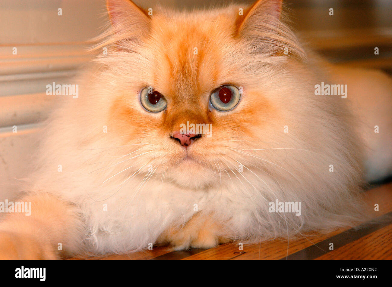 Long Hair White Persian Cat Indoor Portrait Stock Royalty