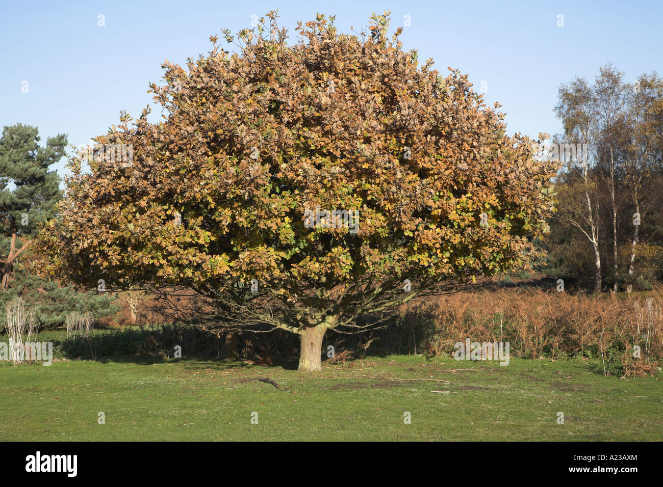 Small oak tree with brown autumnal leaves ready to drop for Small tree varieties