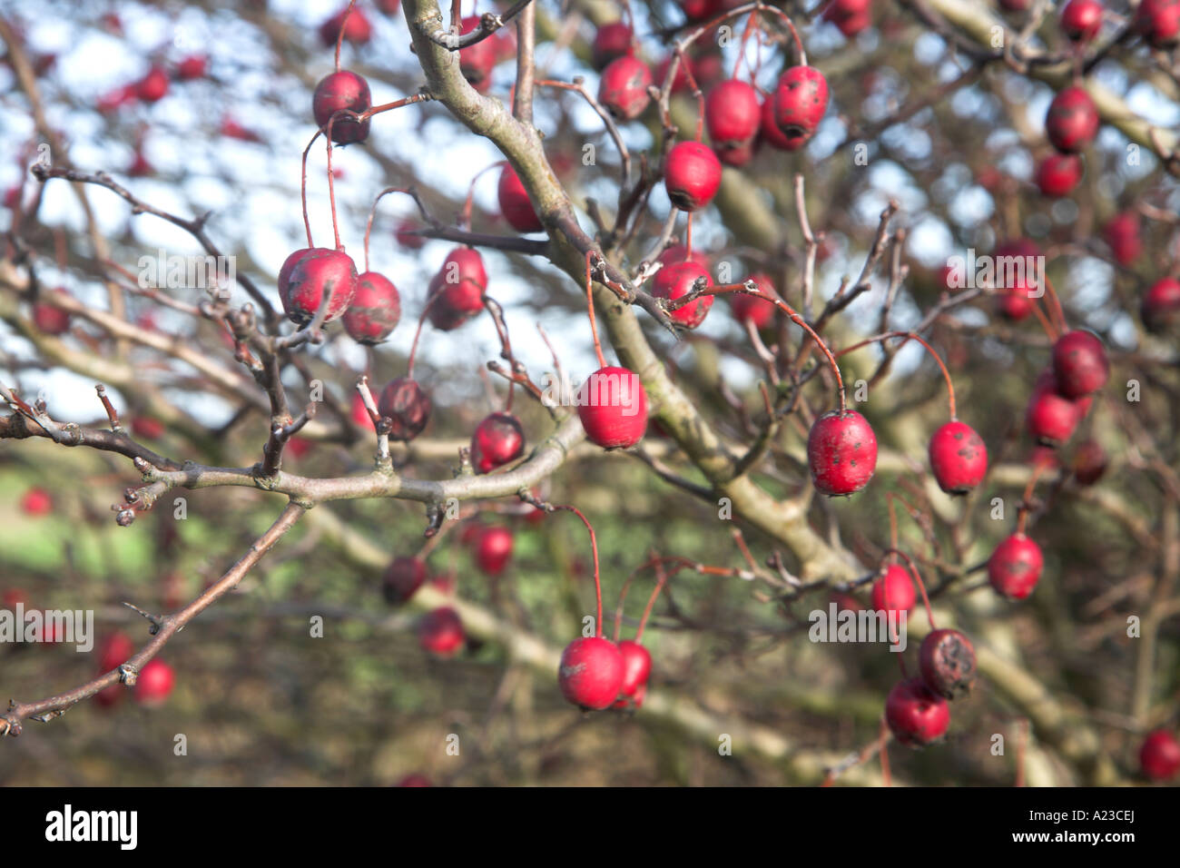 Top 28+ - Tree With Berries In Winter - winter berries ...