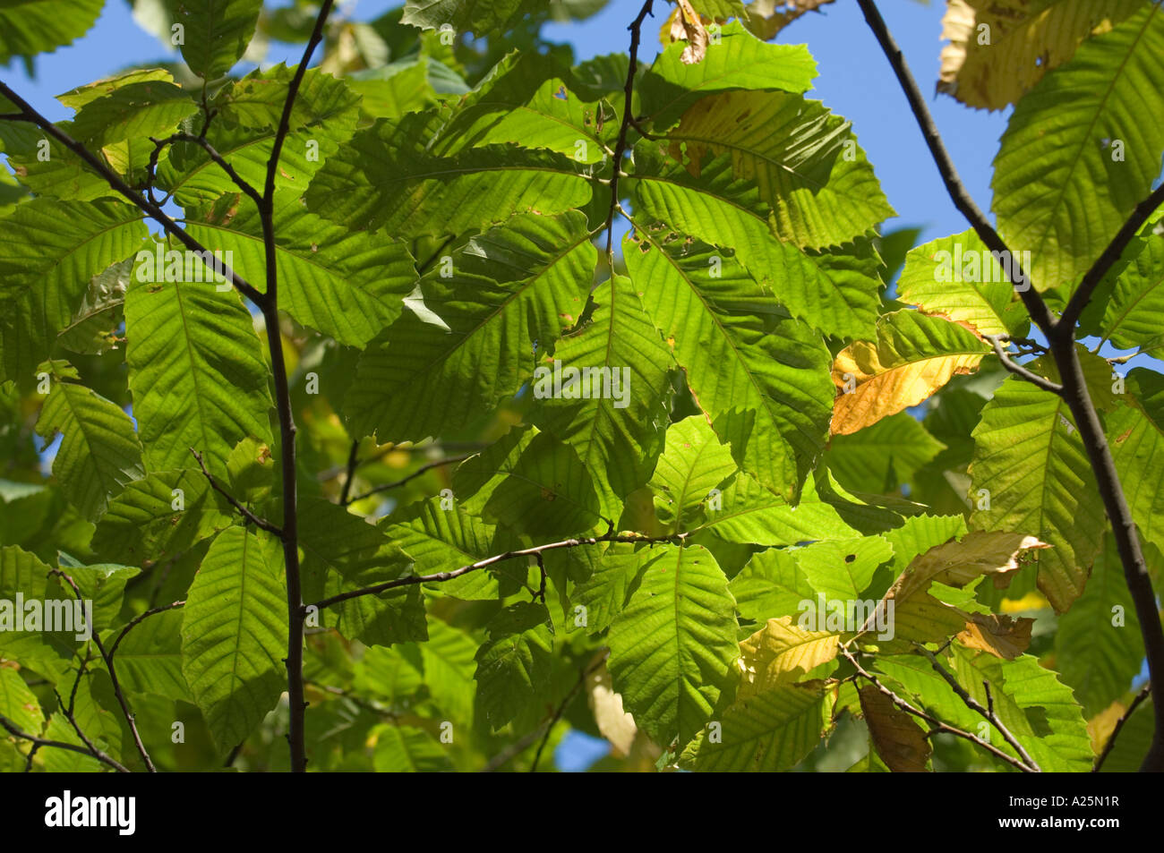 Spruce tree leaves