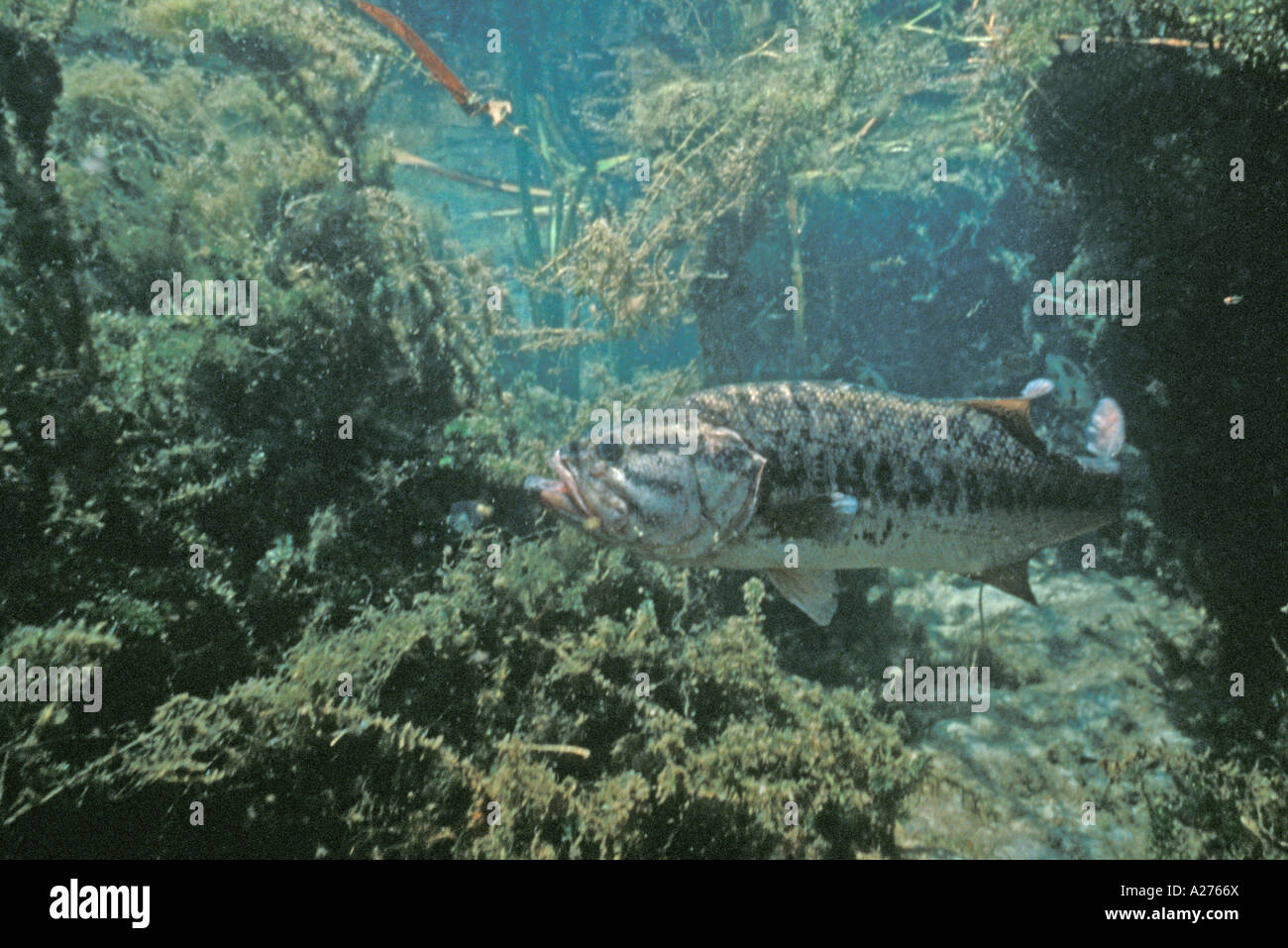 profile largemouth bass underwater fishing fresh water
