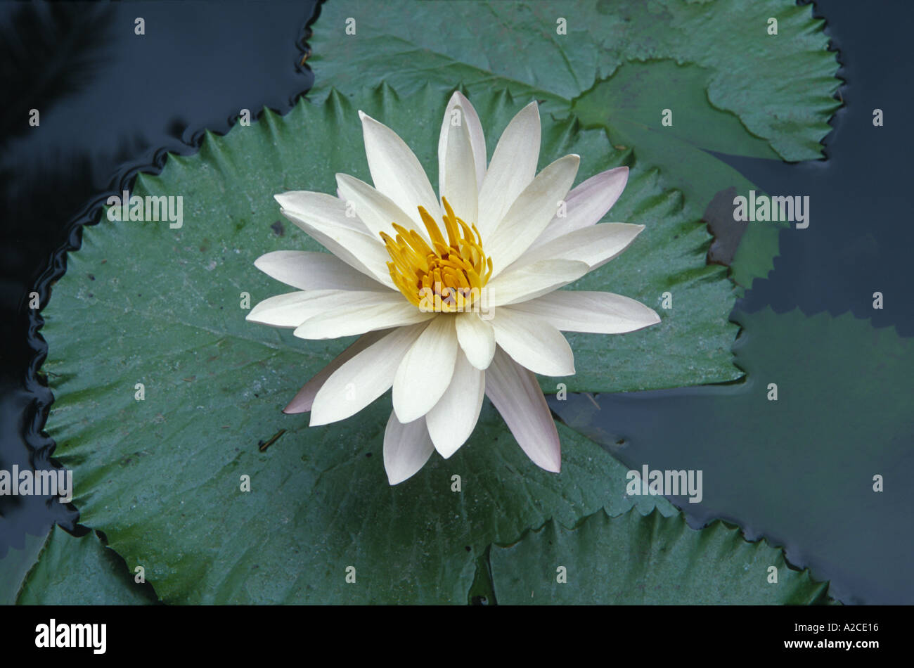 About Lotus Flower In Hindi Flower Shop Near Me Flower Shop
