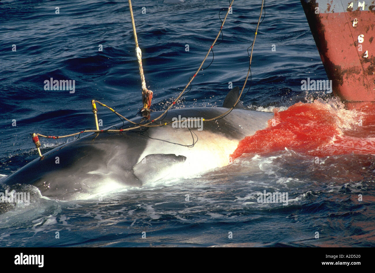 japanese whaling Japan is trying to convince the world the time has come to make commercial whaling legal again.