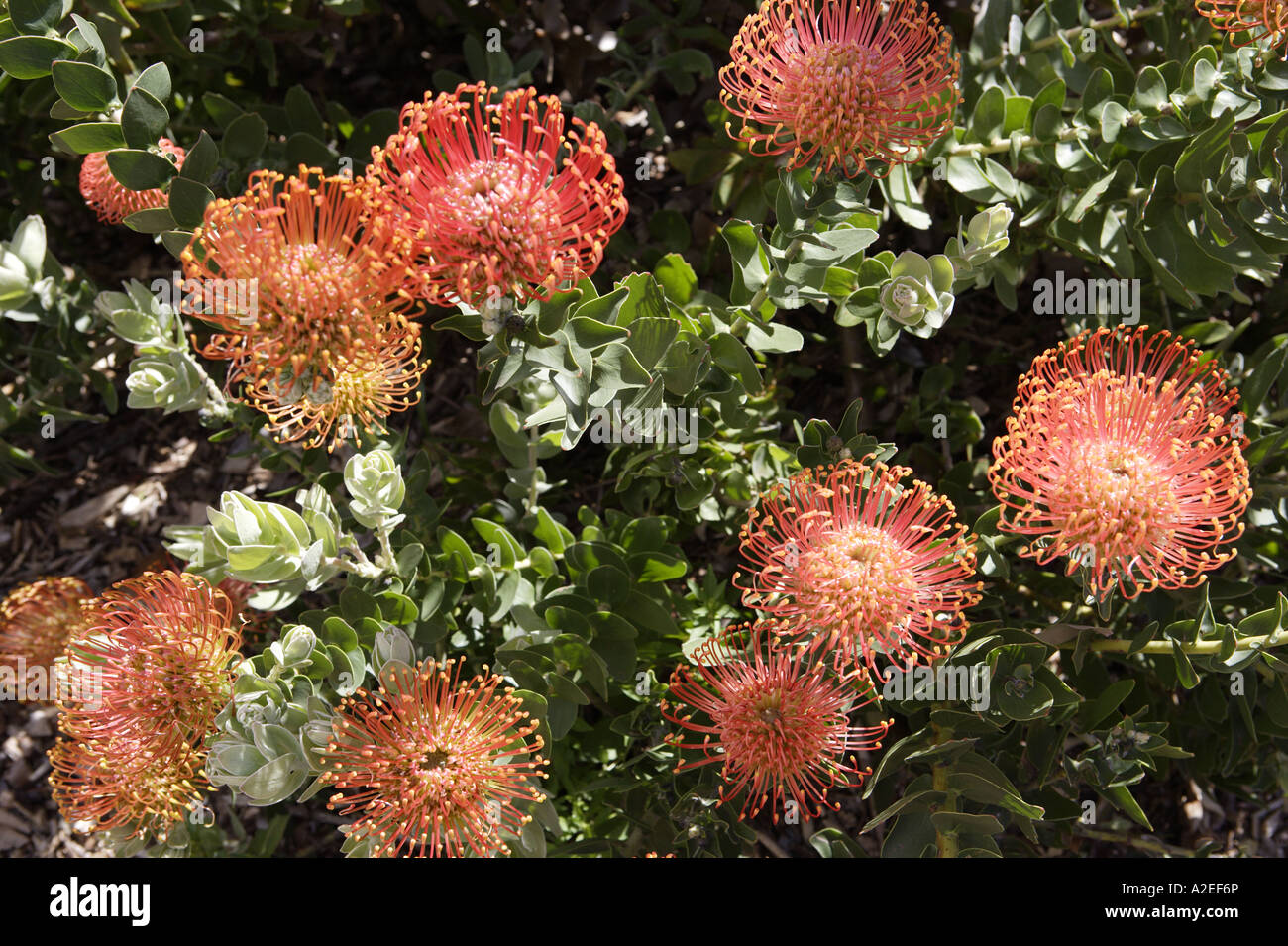 Protea Flowers, Kirstenbosch Botanical Gardens, Cape Town, South Africa