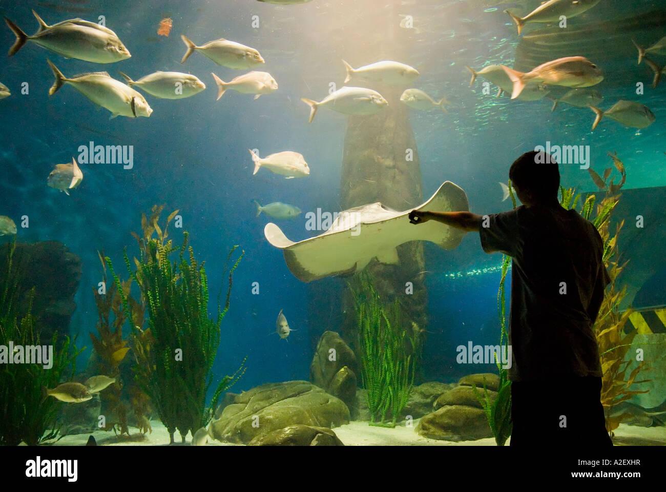 Freshwater aquarium fish melbourne - Boy Pointing At Marine Life Stingrays Sharks In Oceanarium Fish Bowl Melbourne Aquarium Victoria Australia
