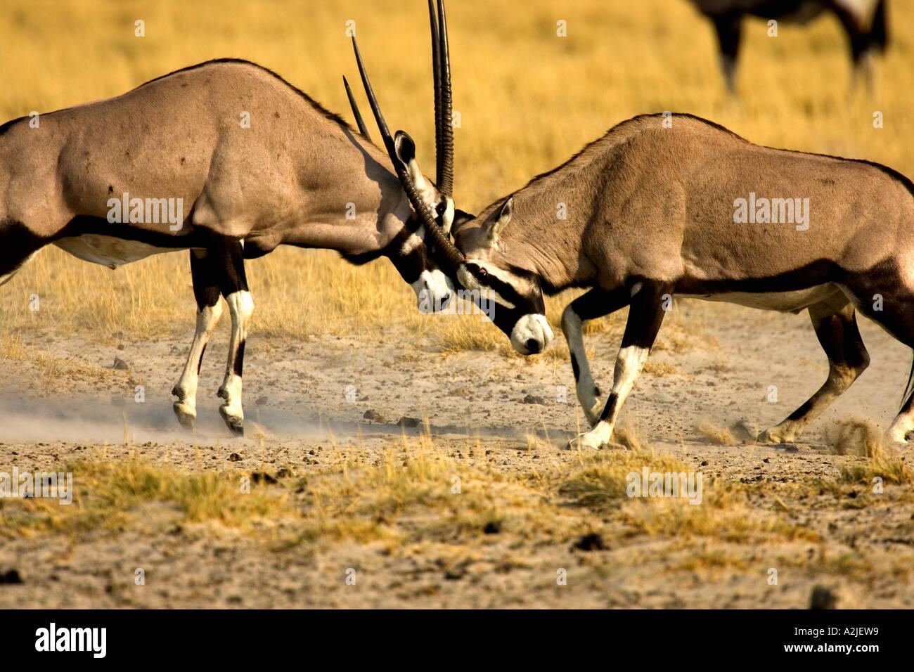 Namibia, Africa: Fighting Oryx/Gemsbok (Oryx Gazella) at ...