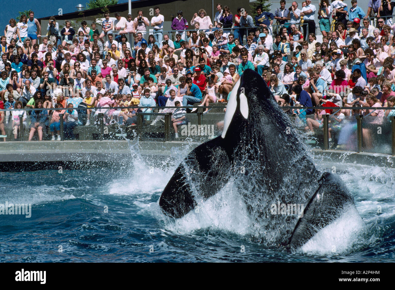 Killer Whale Orcinus Orca Performing At The Vancouver