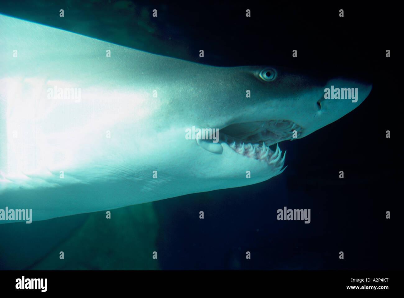 Fish aquarium vancouver - Sand Tiger Shark Odontaspis Taurus Swimming In The Vancouver Aquarium In Stanley Park Vancouver British Columbia Canada