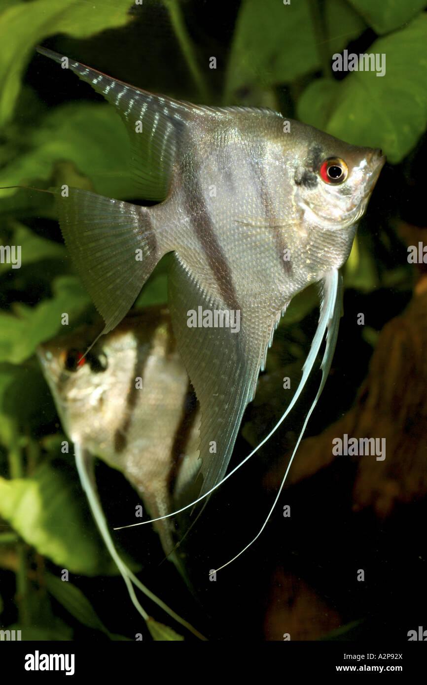Freshwater angelfish longfin angel fish black angelfish for Black and white striped fish freshwater