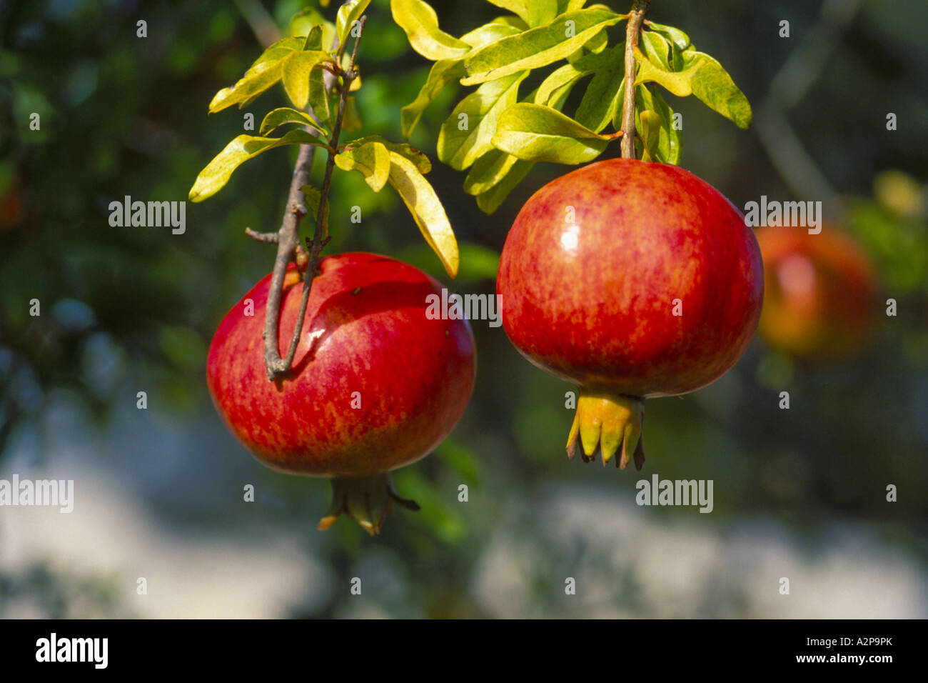 Pomegranate anar punica granatum fruits in ancint times pomegranate anar punica granatum fruits in ancint times symbol for fertility and erotic love turkey biocorpaavc