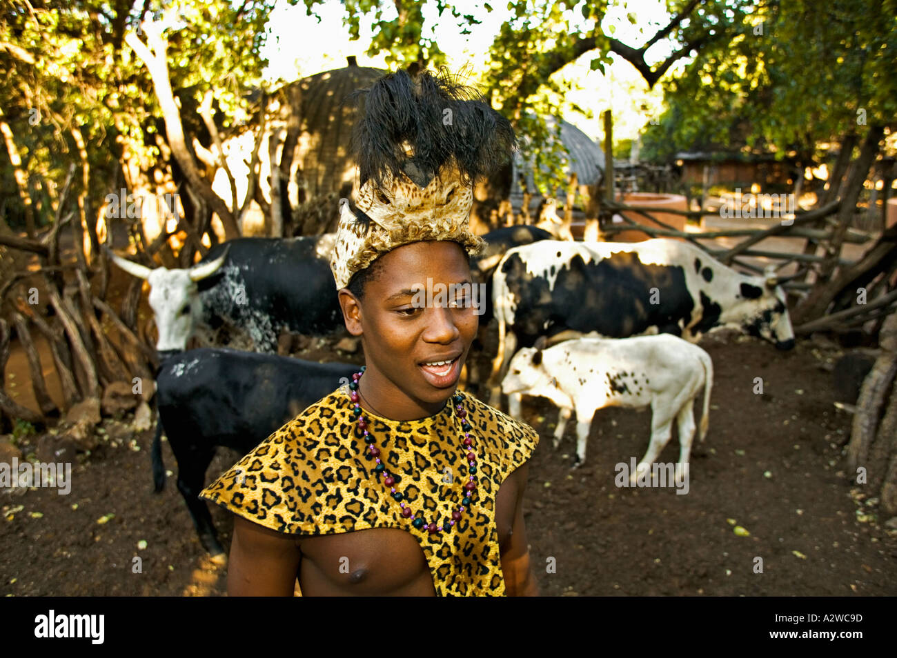 People Zulu Man In Traditional Dress With Cattle Lesedi Cultural Village Near Johannesburg South Africa