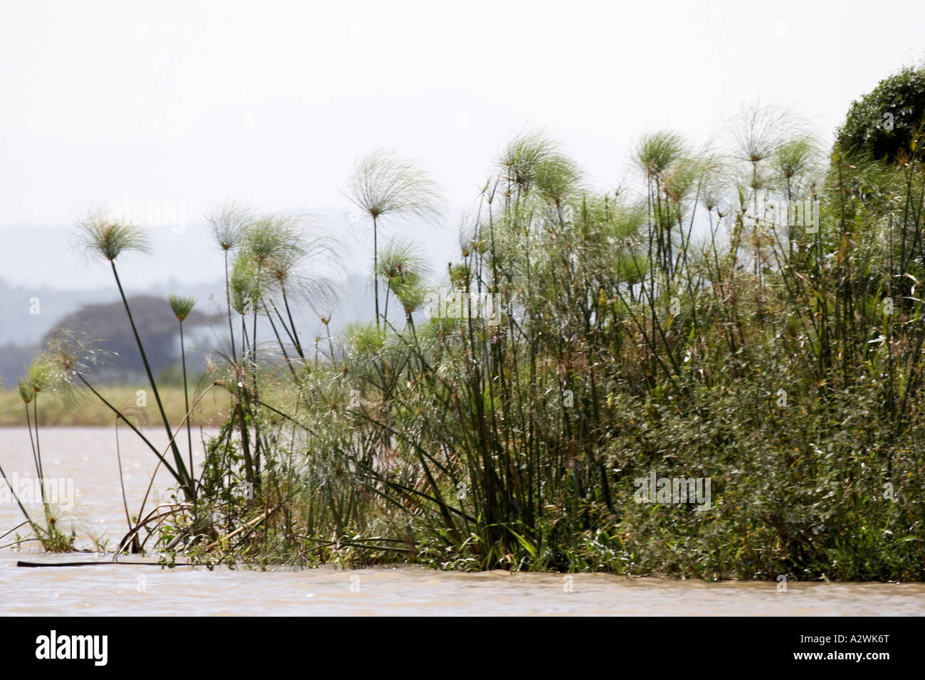 Image source plantsam com - Papyrus Reed Plants On Island In Source Of Blue Nile River On Lake Tana