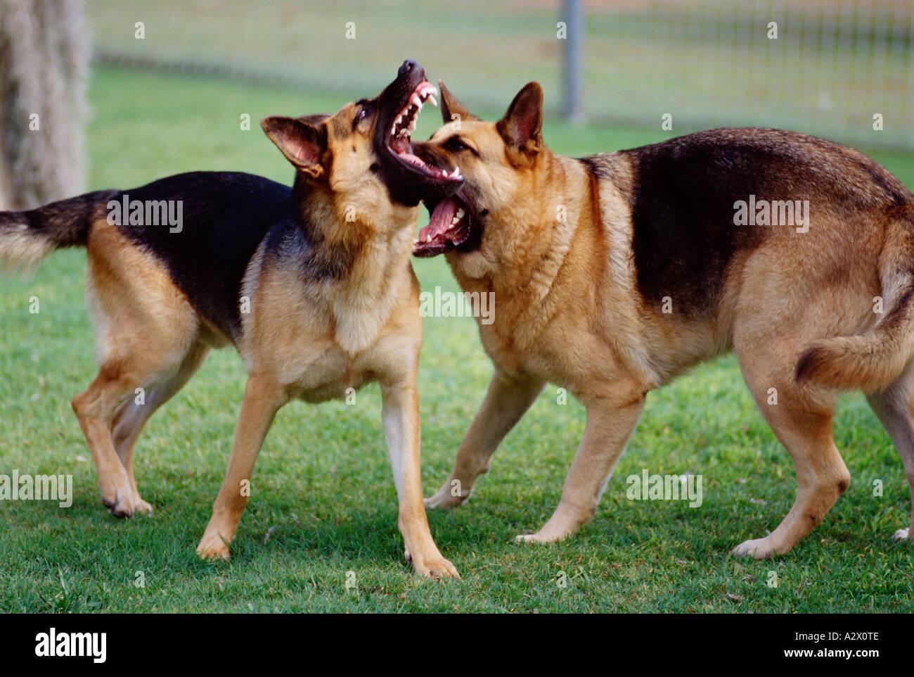 German Shepherd Dog Fight Pet dogs outdoors. Ger...