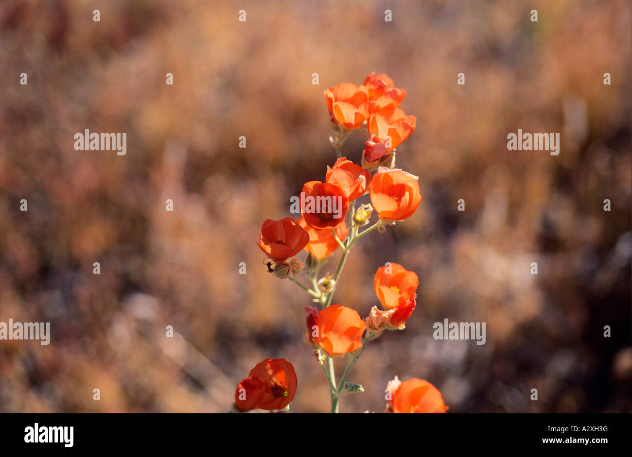 close up of a desert flower in bloom with ant crawling up to the