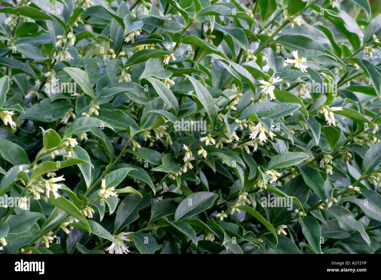 sarcococca confusa stock photo royalty free image