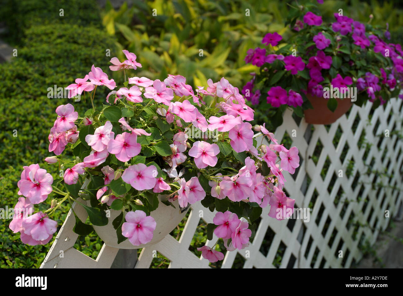 Flowering shrubs clusters purple outdoor fence bamboo twigs hedge stock photo flowering shrubs clusters purple outdoor fence bamboo twigs hedge white red pink dhlflorist Choice Image