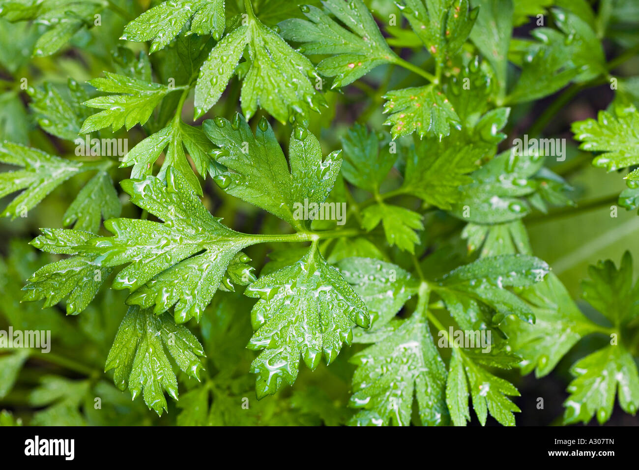 Kitchen Garden Herbs Vegetables Riverwoods Illinois Leaves On Parsley Plant With