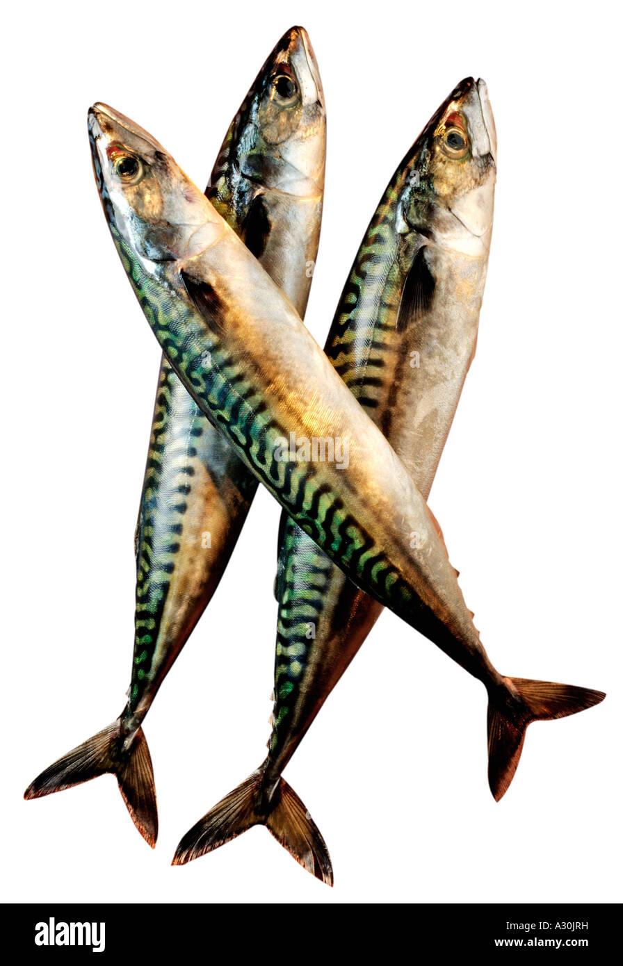 three fresh mackerel fish cut out stock photo royalty free image