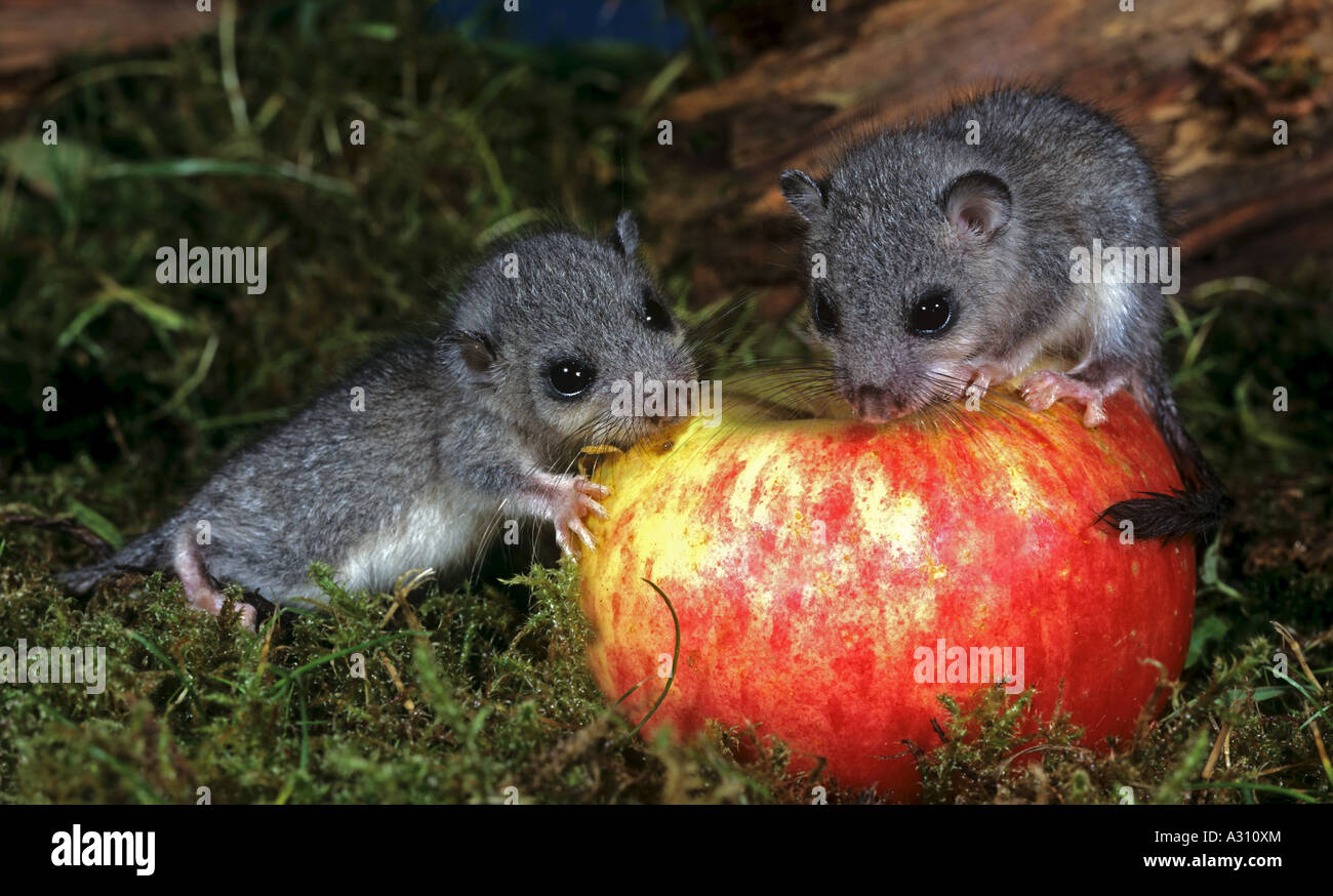 two young edible dormice at apple / Glis glis & two young edible dormice at apple / Glis glis Stock Photo Royalty ...