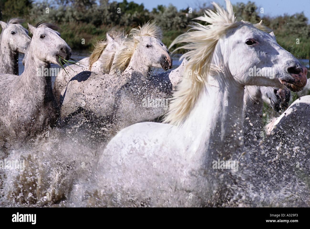Camargue horses running through water France Stock Photo ... - photo#17