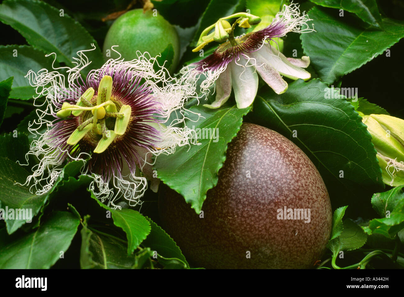 Agriculture Closeup of a purple Passion fruit and flower on the Stock