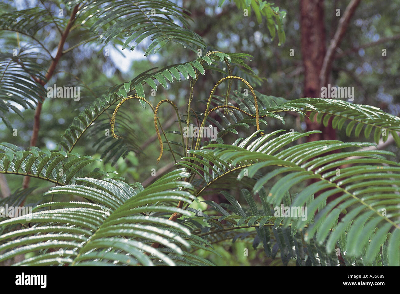 amazon rainforest plants. stock photo trombetas brazil fern plants in the amazon rainforest para state