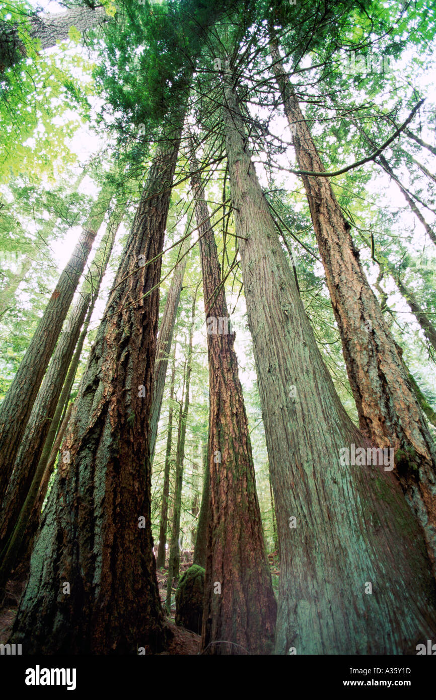 Western Red Cedar Tree ~ Western red cedar trees and douglas fir on the west