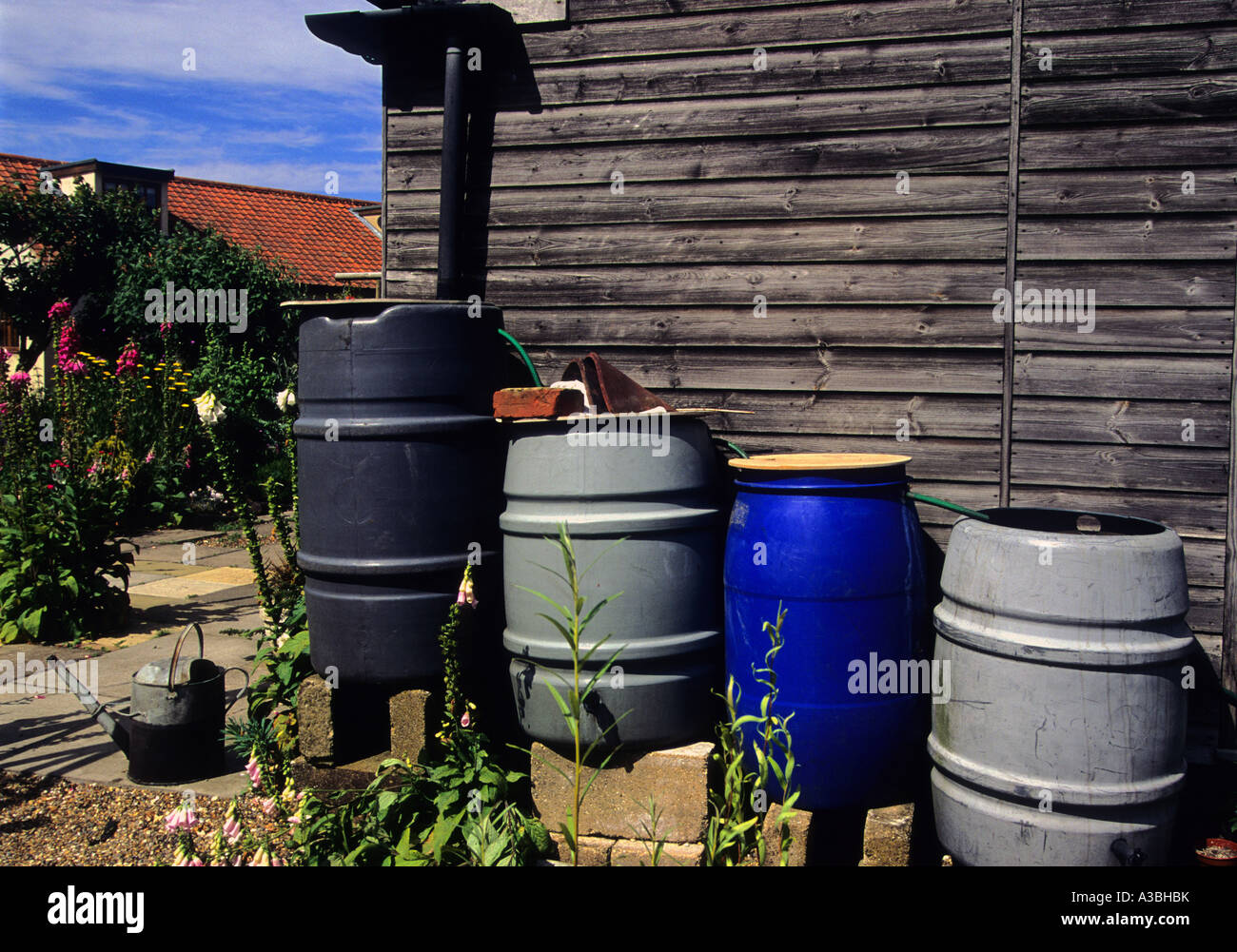Multiple Water Butts Joined Together To Collect Rainwater From A Garden  Shed In The Village Of