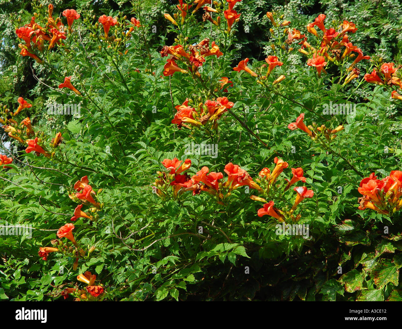 campsis radicans chilean trumpet vine creeper stock photo. Black Bedroom Furniture Sets. Home Design Ideas