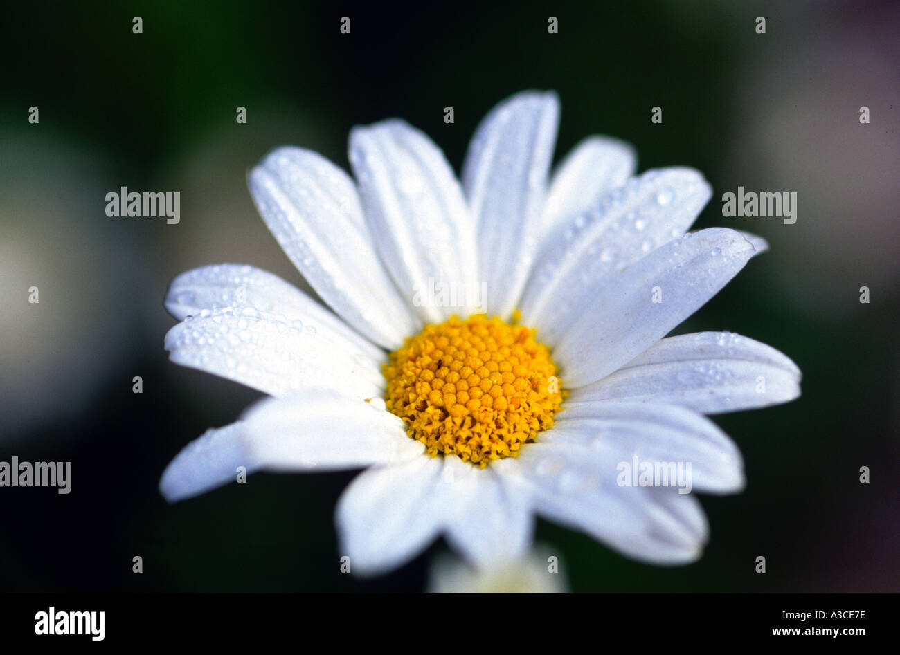 A daisy type flower stock photo royalty free image 249470 alamy a daisy type flower dhlflorist Images