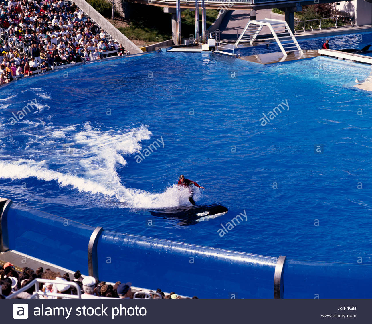 Sea World San Diego United States Killer Whale Swimming Pool Show Stock Photo Royalty Free