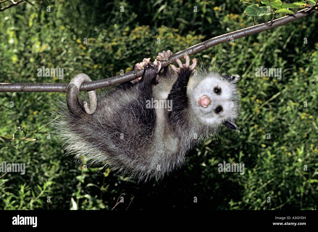 virginia opossum didelphis virginiana north america stock photo